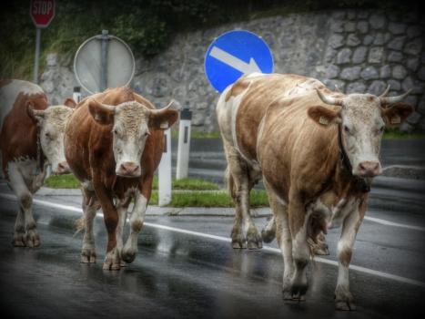 Accidentes de tráfico ocasionados por ganado y otros animales