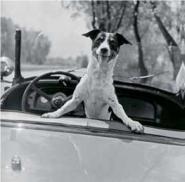 Fox Terrier in convertible