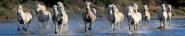 Camargue horses galloping through