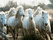 Herd of Camargue horses running