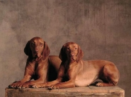 Two Short-Haired Hungarian Vizsla Pointers