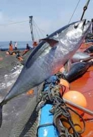 Oceana pide que el exceso de capturas de la almadraba sea liberado .- JULIO 2009