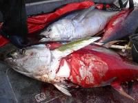 WWF Y Greenpeace denuncian la captura masiva de juveniles de atún rojo en España - 12 NOVIEMBRE 2009