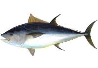 Las capturas de atún rojo se reducirán un 40% para frenar la extinción de la especie