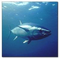 España solicitará ayudas si se veta el atún