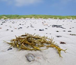 Algas marinas como fuente para elaborar biocarburantes