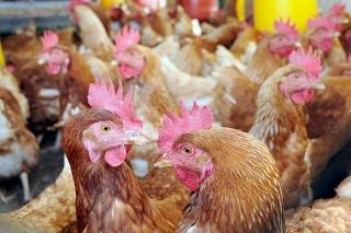 Biodiésel a partir de grasa de pollos