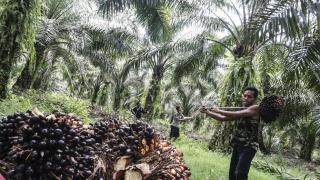 Un trabajador cosecha el fruto de la palma aceitera en Kuwala, en Sumatra, en Indonesia (Barcroft Media / Getty)