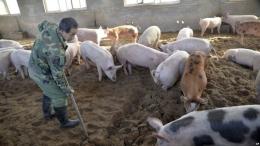 China toma medidas contra el uso y la recolección de aceite de cocina usado de granjas.