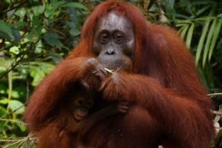 La deforestación vinculada a los cultivos de palma de aceite está provocando la desaparición de numerosas comunidades de orangutanes.