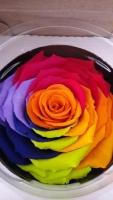rosa arcoiris rainbow