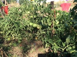 El huerto del Campus ya con tomates