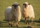 Ovejas -Cabras sacos