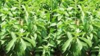 La Unión Europea aprueba el uso de stevia