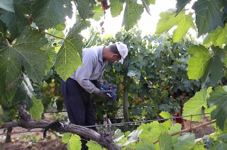 The quality of the vintage of 2011 promises a vintage wines for historic