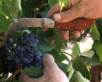 Selected grape-harvesting