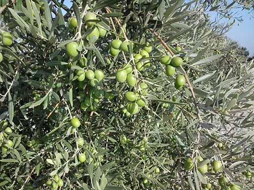 5 claves para obtener cosecha de aceituna todos los años