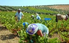 Cuadrilla de vendimiadores recolectando la uva