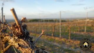 Último año para transferir derechos de plantación de viñedos