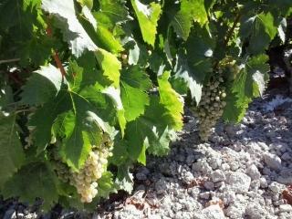 Ya se puede solicitar la ayuda para reestructurar y reconvertir viñas