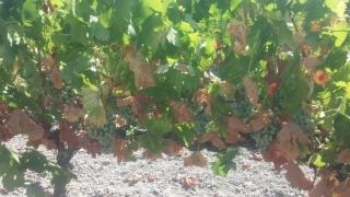 Un 30% de cosecha se ha perdido ya por las altas temperaturas