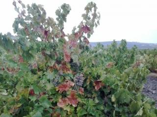 Ya se puede solicitar el arranque de viñedo