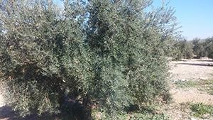 Las ayudas acopladas al olivar en pendiente podrían desaparecer