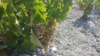 Abierto el plazo para solicitar autorización de nuevas plantaciones de viñedo