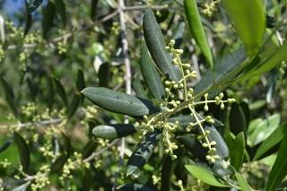 Iniciar primer tratamiento fitosanitario al olivo