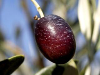 Pagina web para identificar plagas en el olivar