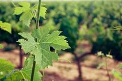 Reestructuración y reconversión de viñedo 2016-2017