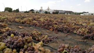 El trabajo duro da su fruto, asoleo de la Pedro Ximénez