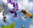 La abeja: nuestro obrero mejor cualificado