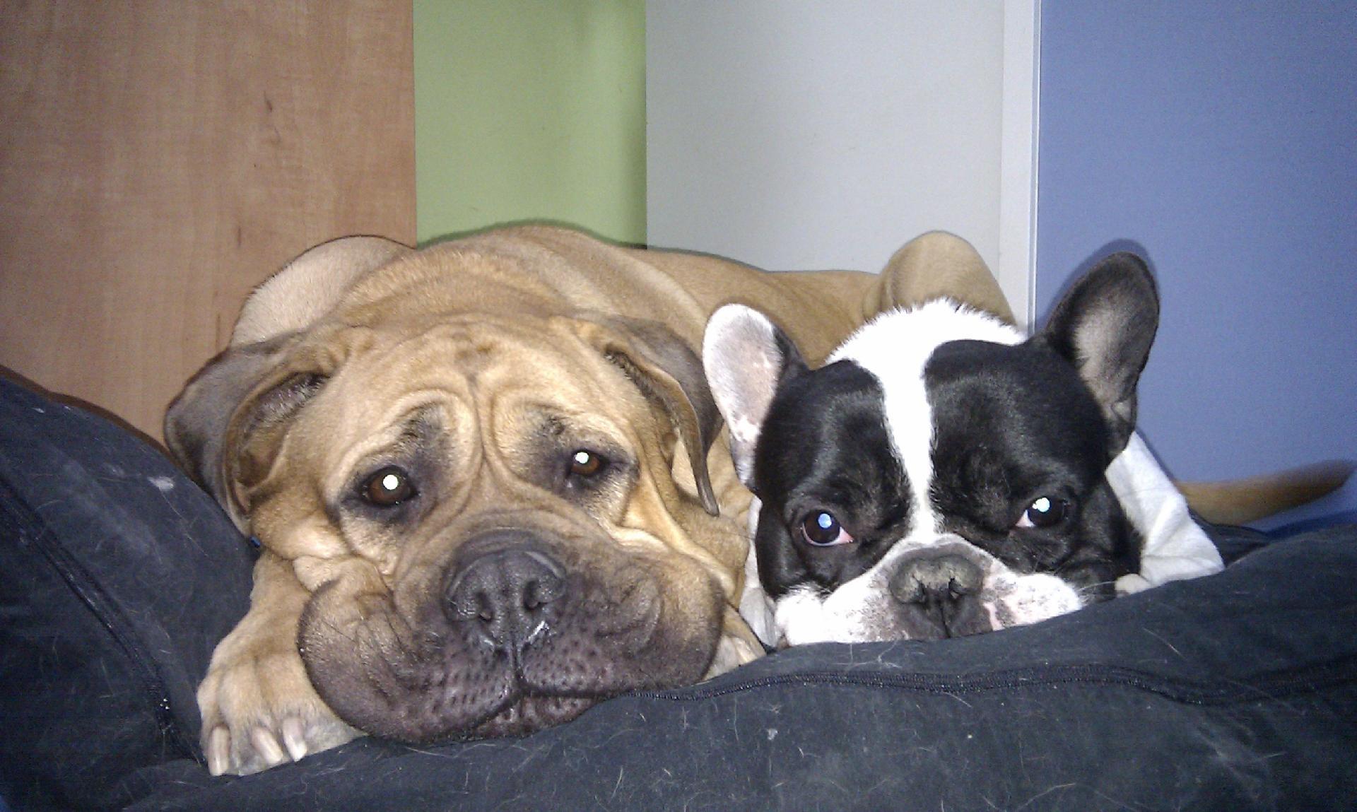 bulldogfrancesbullmastif