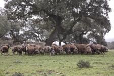 Cría de Cerdos Ibéricos Ecológicos