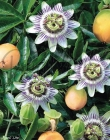 Passifloras de Fruto