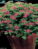 PELARGONIUM CONCLOR LACE [P]