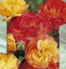 Rosales Polyanthia