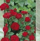 Rosal Miniatura