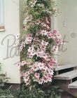 Clematis Patio Plant