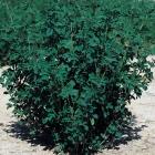 Semillas de Alfalfas ó Medicago Sativa