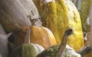 Semillas de Calabazas para Forraje