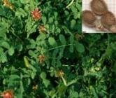 Semillas de Zulla ó Hedysarum Coronarium
