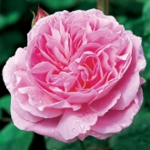 ROSAL MARY ROSE ® (Ausmary)