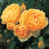 ROSAL GRAHAM THOMAS ® (Ausmas)
