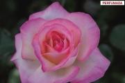 ROSAL PRINCESA DE MONACO ® - Meimagarmic
