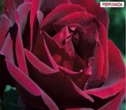 ROSAL PAPA MEILLAND ® - Meicesar