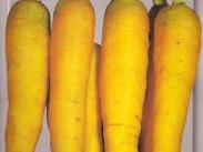 Semillas de Zanahorias para Forraje