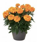 Tagetes Triploides