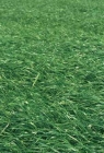 Semillas de Ray Grass Italiano